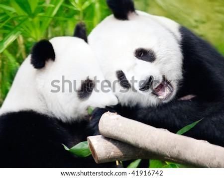 Couple of cute giant pandas eating bamboo shoots