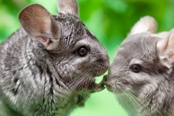 couple of cute gray chinchilla sitting on green colored background with leaves , lovely pets and nature concept, two purebred fluffy rodent
