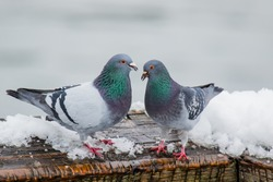 Couple of cute pigeons mating on a cold day in the early spring.