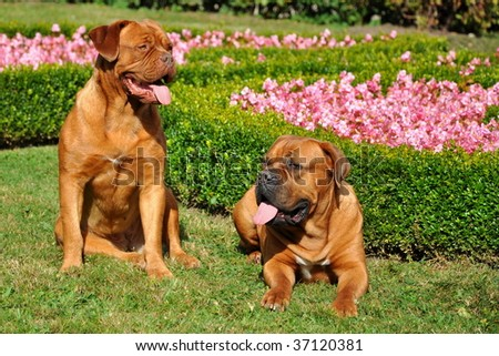 Couple of dog friends, (Tosa inu and Bordeaux dog)