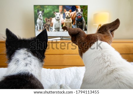 couple of dogs wacthing streaming  tv program , movie or series in bed cozy together Stockfoto ©