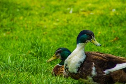 Couple of ducks laying on the grass