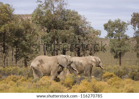 Couple of Elephants walking, South Africa