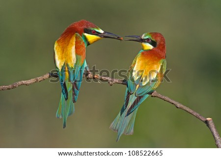 Couple of European bee-eaters (Merops Apiaster) exchanging an insect as part of a mating ritual