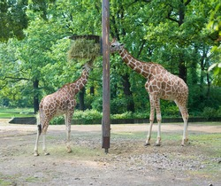 couple of feeding giraffes in the berlin zoo