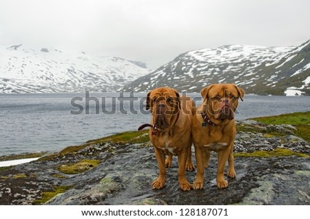 Couple of French Mastiffs at the mountains glacier, Northern Norway