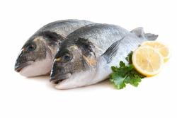 couple of fresh gilthead bream fish or dorada isolated on white