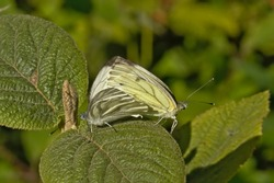 Couple of garden white butterflies, sitting back to back, mating