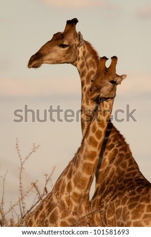 Couple of giraffe