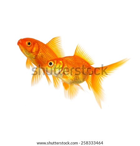 Shutterstock Couple of goldfishes in love