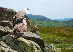 Couple of Griffon vulture (Gyps fulvus)  in wildness area