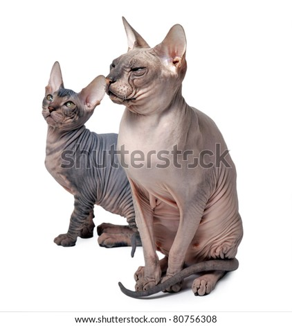 couple of hairless cat isolated on white