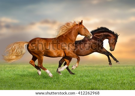 Couple of horse run gallop on green pasture at sunset sky