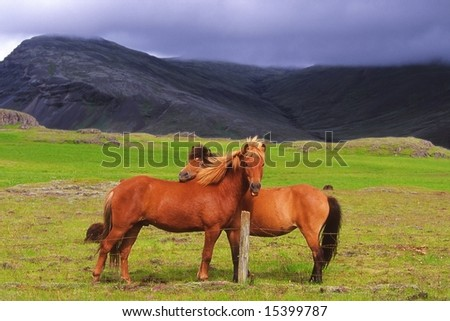 Couple of Icelandic horses