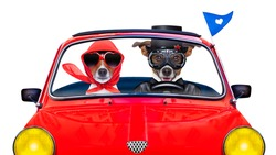 couple of just married jack russell dogs driving a funny car for vacation holidays and honeymoon, isolated on white background