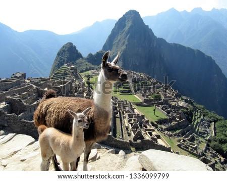 Couple of Lamas at Machu Picchu #1336099799