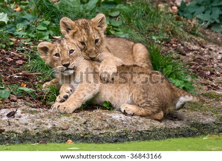 couple of lions cubs
