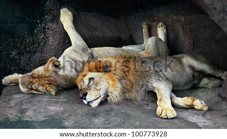 couple of lions lazy resting