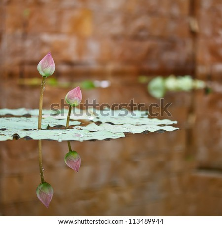 couple of lotus in a pond of a tropical garden