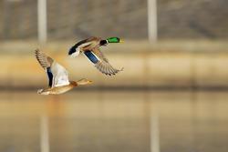 Couple of Mallard Ducks in flight over urban landscape.