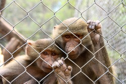 Couple of monkeys behind bars