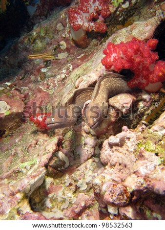 Couple of Moray eels, the cosmopolitan eels of the family Muraenidae. South Andaman Sea.
