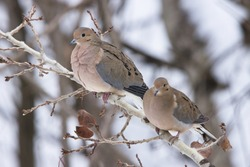 Couple of mourning doves during winter