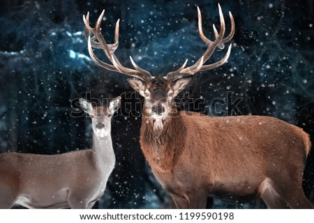 Couple of noble deer in a snowy forest. Natural winter image. Winter wonderland.