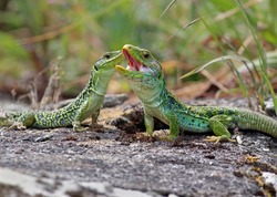 Couple of ocellated lizards (Timon lepidus) standing on a rock. Male and female reptiles mating. Beautiful and colorful green and blue lizards from Spain in natural mediterranean environment.