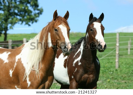 Couple of paint horses - stock photo