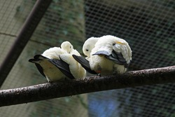 couple of pied imperial pigeons (Ducula bicolor) living in captivity cleaning their feathers