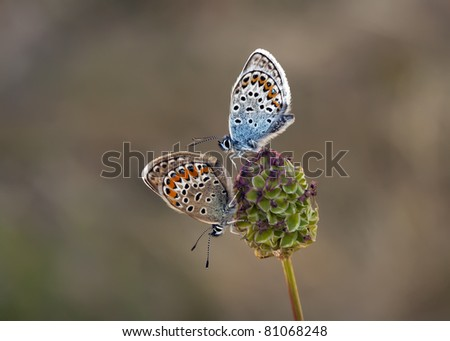 Couple of Plebejus Argus chasing each other