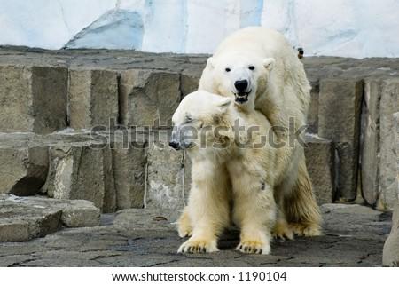 Couple of polar bears making love