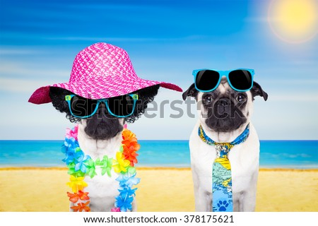 couple of pug dogs on on summer vacation holidays at the beach with sunglasses and funny hat #378175621