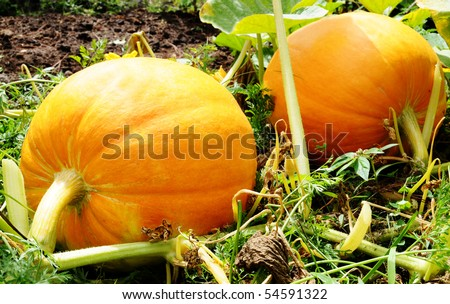 Couple of pumpkins in a farm field
