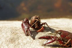 Couple of red crayfish on an stone in a river with a river in a blurry  background