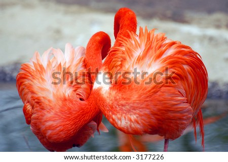 Couple of red flamingoes sleeping
