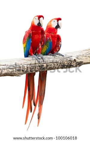 Couple of red macaw parrots on white background