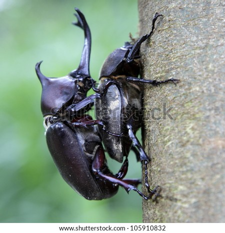 Couple of Rhinoceros beetles are mating on Formosan ash.
