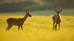 Couple of roe deer, capreolus capreolus, standing on meadow in summer sunlight. Two brown mammal looking on sunny glade. Roebuck and female staring on green field.