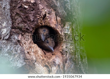 Couple of Rufous woodpecker juvenile in the hole nest waiting for food with green background. Stock foto ©