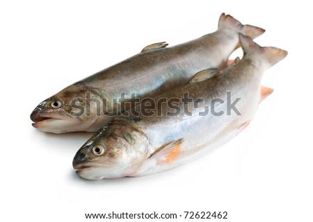 Couple of Salvelinus, salmonid. Isolated on the white background