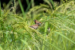 couple of Scaly-breasted or spotted munia birds in paddy field