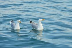 Couple of seagulls swimming on the water in Irish sea.