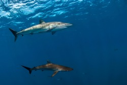 Couple of silky sharks (Carcharhinus falciformis) swimming in the blue