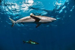 Couple of silky sharks close to the surface