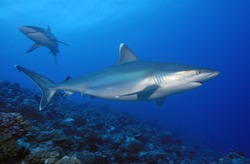 COUPLE OF SILVERTIP SHARK SWIMMING ON THE REEF