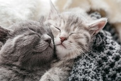 Couple of sleeping kittens in love on Valentine day. Cat noses close up.Family of sleeping kittens hug and kiss.Cats cozy sleep at home.