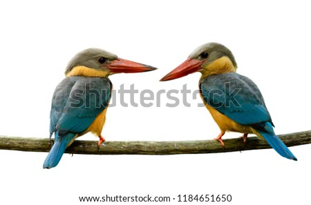 Couple of stork-billed kingfisher (Pelargopsis capensis) beautiful big red beak with turquoise blue wings and brown head bird perching together on wooden branch isolated on white background