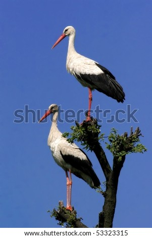 Couple of storks perched in a tree